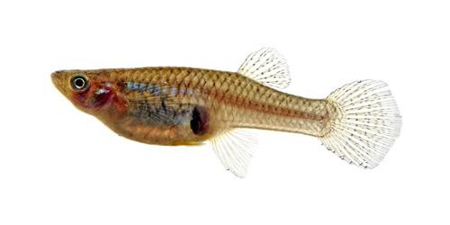 Gambusia (Mosquito Fish)