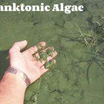 Planktonic Algea